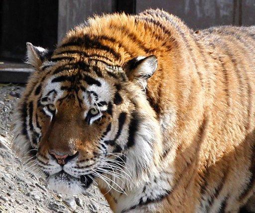 Sacrifican a un tigre que escapó y mató a su cuidadora