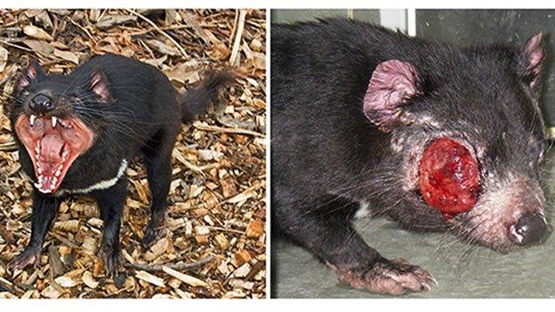 El demonio de Tasmania en peligro de extinción por un cáncer
