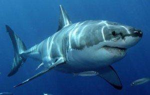 Insolito: Tiburón le salva la vida a un hombre