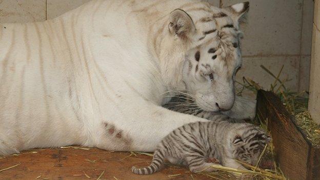 Tigres blancos recién nacidos en peligro de muerte