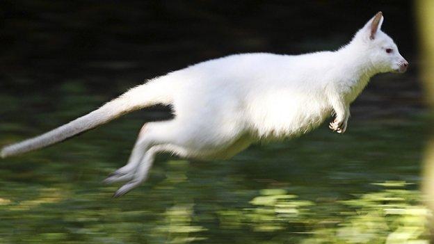 Fotos: Nala, el canguro albino furor en Alemania