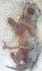 Fotos y Video: El gato cíclope furor en internet