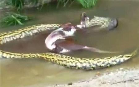 Video: Anaconda se come una ternera y la vomita