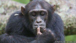 Los monos padecen la crisis de la mediana edad