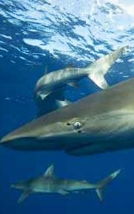 Tiburón mató a salvavidas en playas de Sinaloa