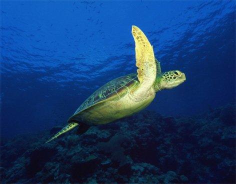 Por qué aumenta la mortandad de la tortuga amarilla?
