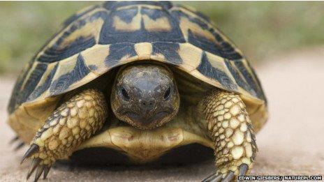 Tortugas promiscuas se someten a test de paternidad