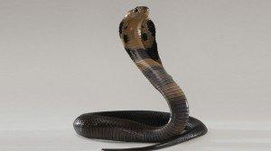 Cobra mordió a un pasajero durante un vuelo a Egipto