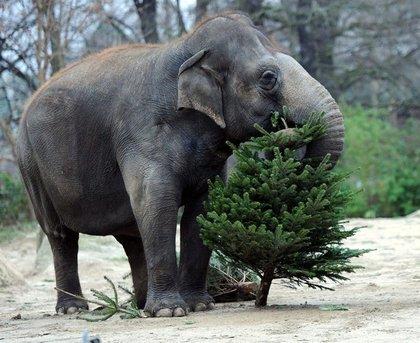 Dan vodka a elefantes para sobrevivir al frío