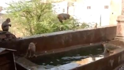 Video: Monos se refrescan divertidos en la piscina