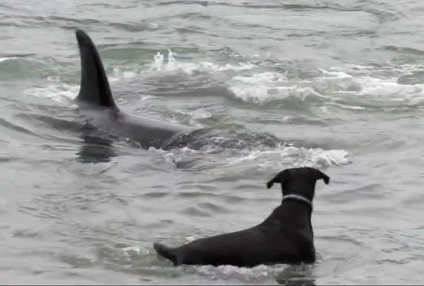 Video: Una orca nada y juego con un perro
