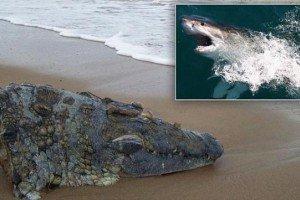 Foto insólita: Tiburón degolló a un cocodrilo