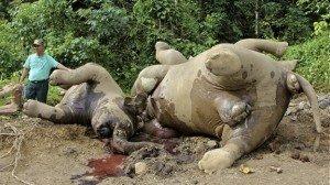 Mueren diez elefantes pigmeo, especie en peligro de extinción - Fotos
