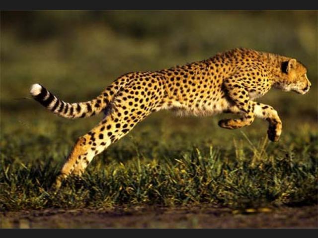 Conoce cuáles son los animales más veloces del mundo