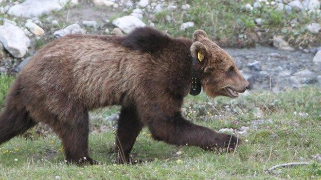 Matan al único oso silvestre por ser considerado un peligro