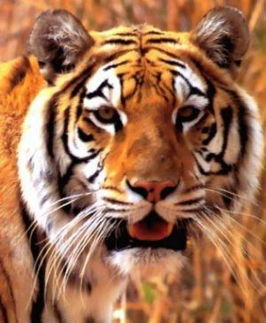 video: Tigre mata a su domador en plena función circense