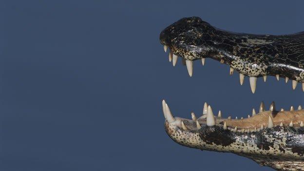 Panamá: hallan restos fosilizados de caimanes