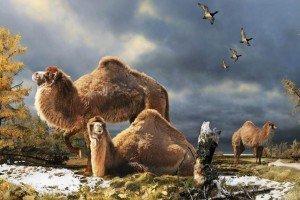 Descubren restos de camellos gigantes