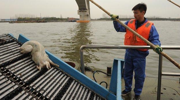 Aparecen 5,916 cerdos muertos en un río de Shangái