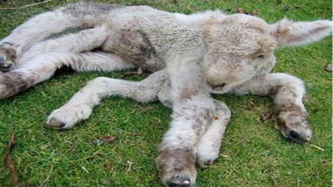 Terror por oveja que nació con 8 patas y 3 ojos