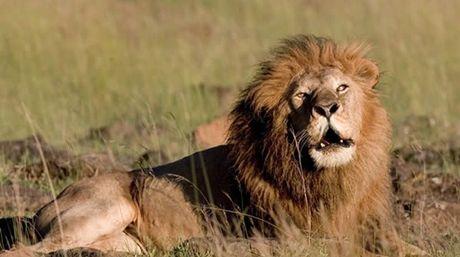 Alerta: León africano en peligro de extinción