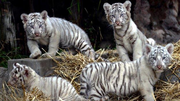 Nacen cuatro tigres de Bengala en zoológico