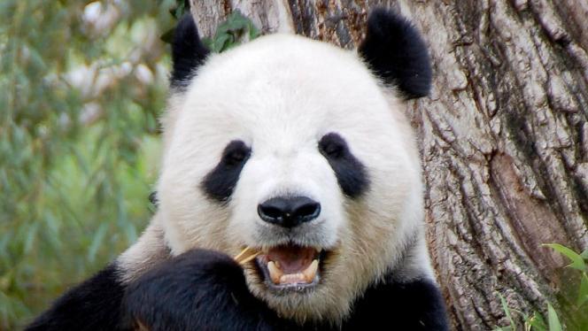 Video: Un oso panda atemorizado por el terremoto