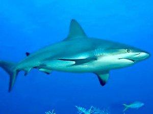 Cómo afecta la luna llena a los tiburones