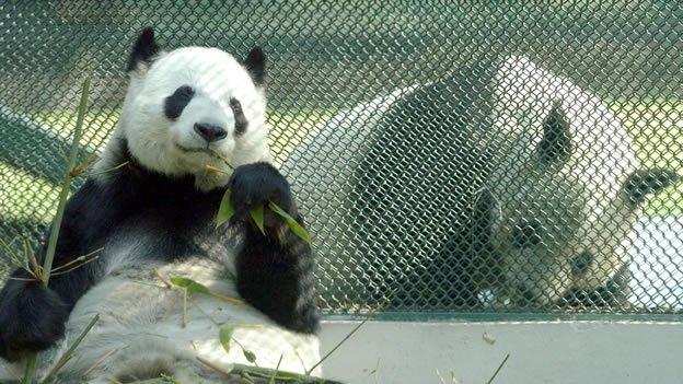 Murió la panda Xiu Hua en el zoológico del DF