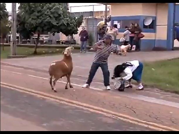 Video: Cabra enloquecida atemoriza pueblo brasilero