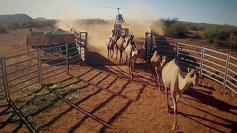 Cuál es el país con más camellos en el mundo