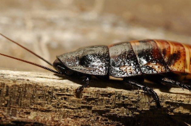 Qué es lo único que las cucarachas no comen