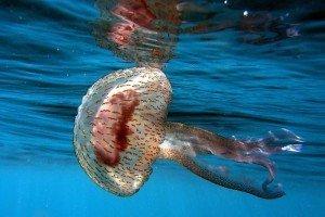 Comer medusas ayuda a salvar la fauna marina