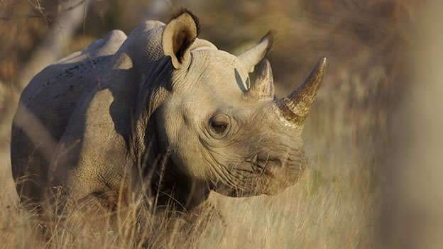 Matan último rinoceronte negro de Mozambique - Rinoceronte negro extinto