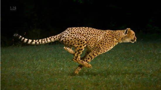 La capacidad del guepardo para ser el animal más rápido