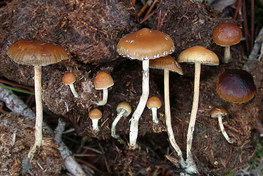 Por comer hongo alucinógeno se extirpa los genitales