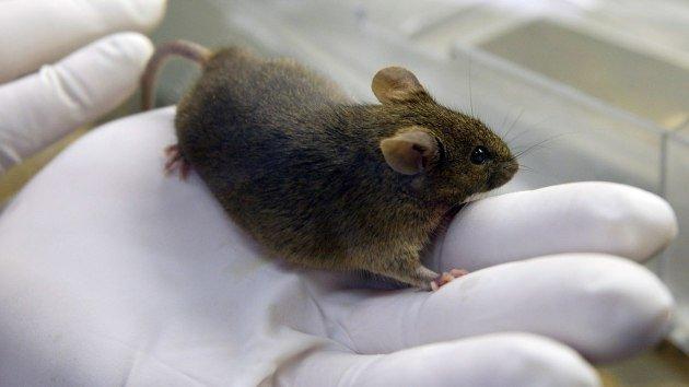 Clonan un ratón a partir de una gota de sangre