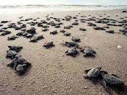 Cómo contribuir a la preservación de las tortugas marinas