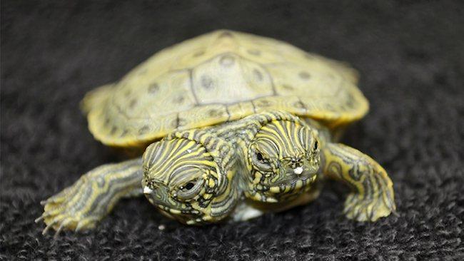 Video: Nace tortuga con dos cabezas