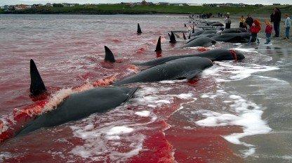 El monstruoso hobby de matar ballenas