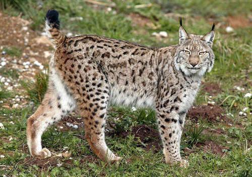 El lince ibérico en peligro de extinción: causas y consecuancias
