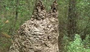 Hallan nido gigante de avispas de 2,5 metros de ancho