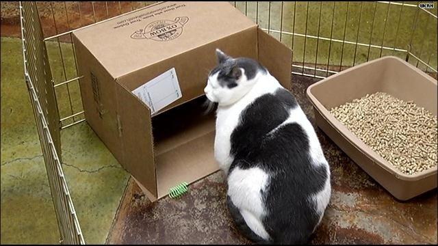Conoce al gato con sobrepeso por comer pasta