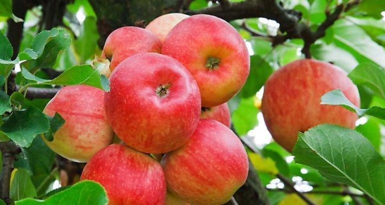 ¿Qué provoca que el sabor de las manzanas cambie?