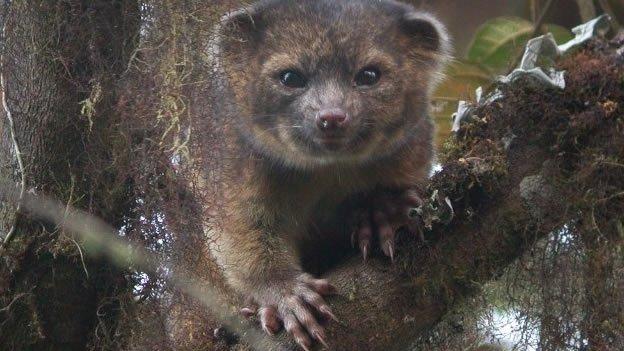 Descubren nuevo mamífero de Ecuador y Colombia - Fotos