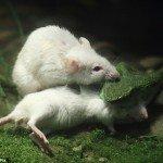 Ratón se enfrenta a víbora para salvar a un amigo - Fotos