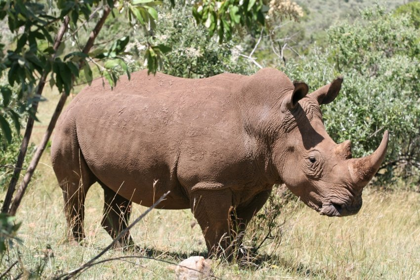Qué solución puede evitar la extinción de los rinocerontes