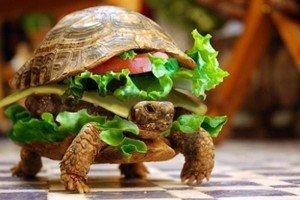 Insólito: Camufla su tortuga como hamburguesa para viajar en avión