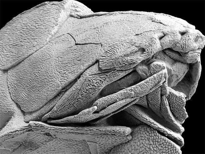 Descubren el fósil más antiguo de un pez con mandíbula