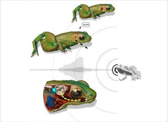 Descubren una especie de rana que escucha por la boca